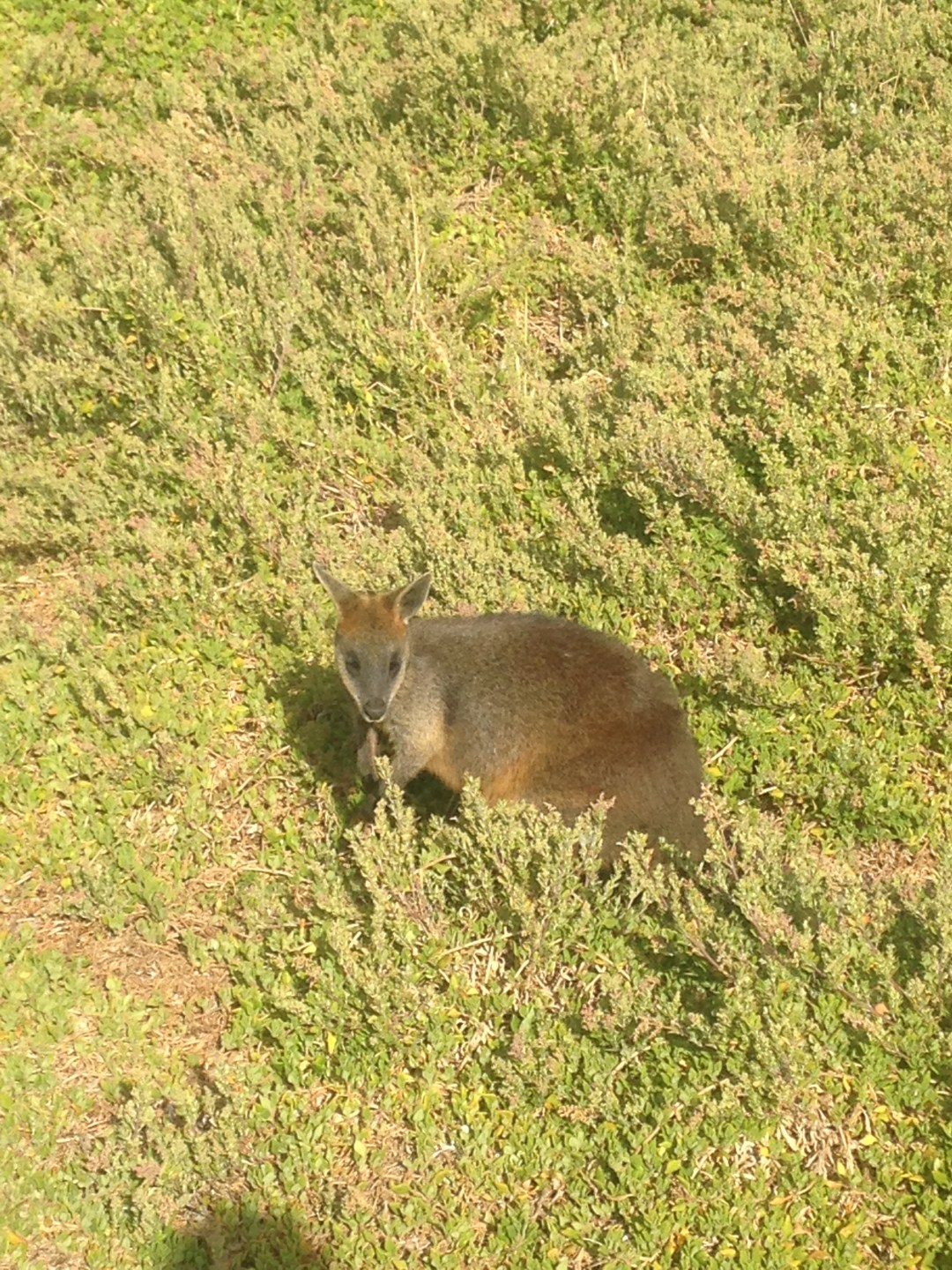 Wild wallaby spotted in the natural bush of Australia