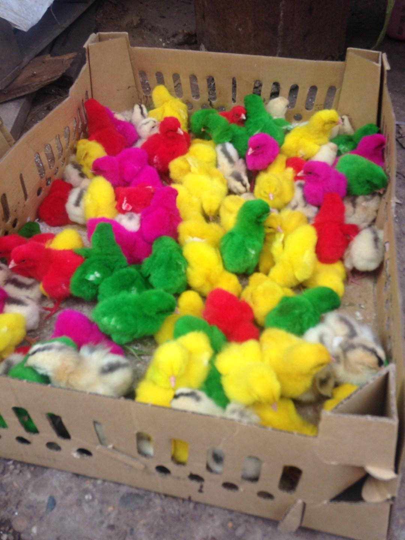 Tiny chicks run around in a box