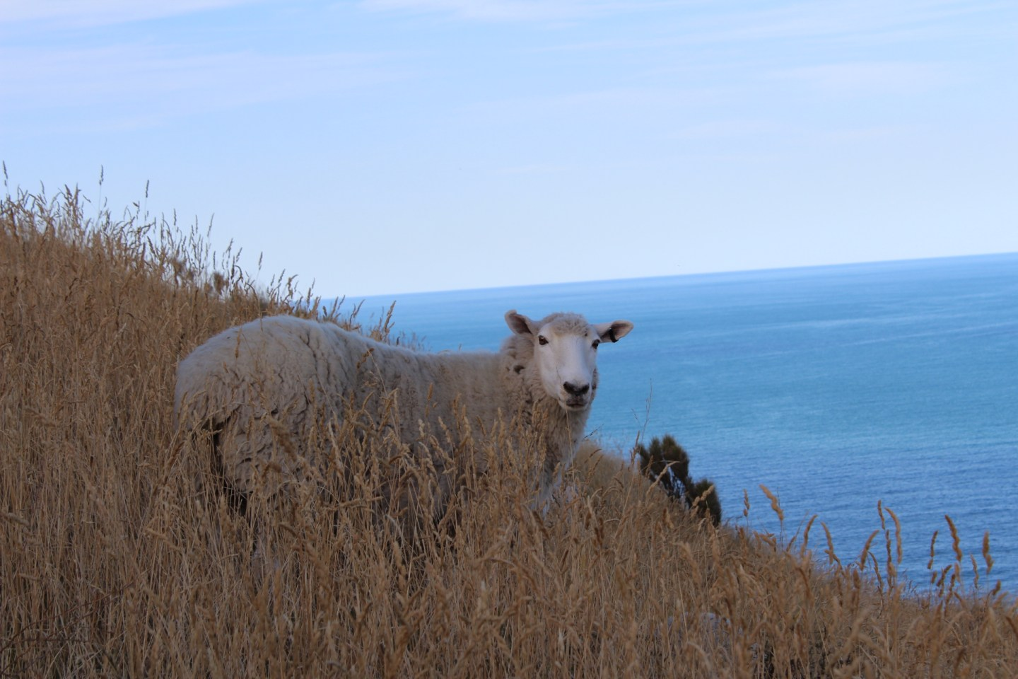 A sheep looks at the camera in a field overlooking the ocean