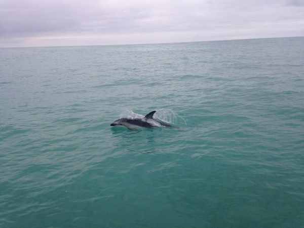 A dolphin swims alongside a boat in Kaikoura