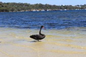 Best things to do in Fremantle - Point Walter sandbar & Swan River