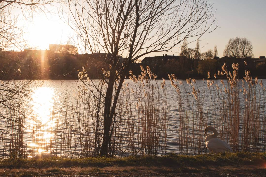 sunset over lake with swan