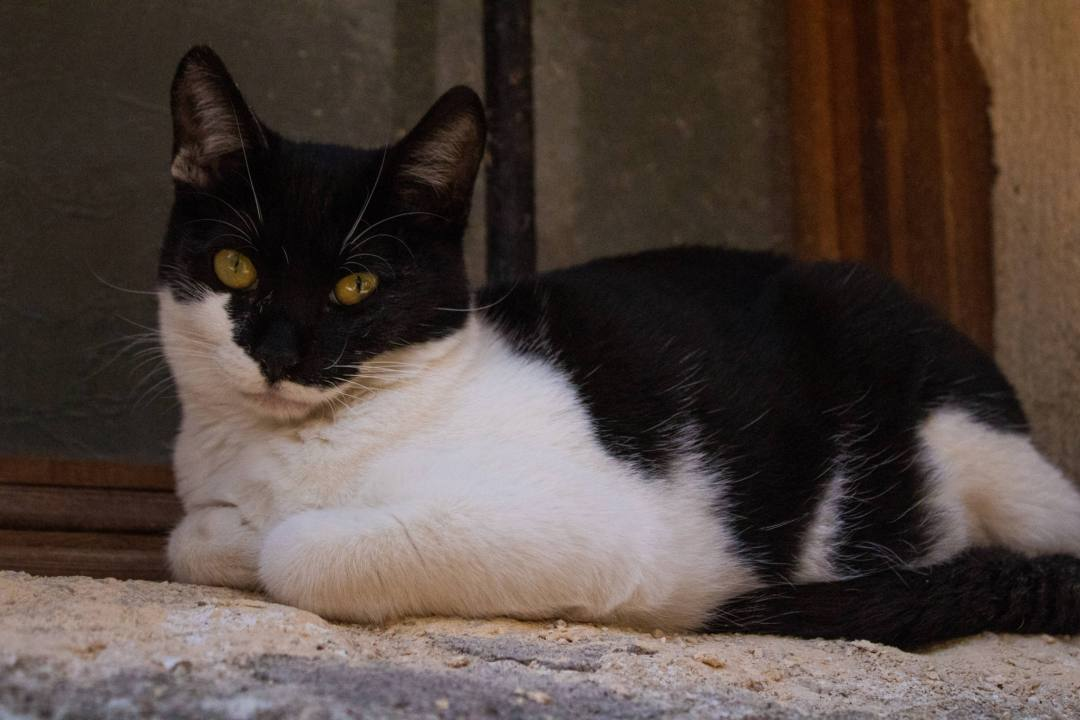 black and white cat stares at camera lying down