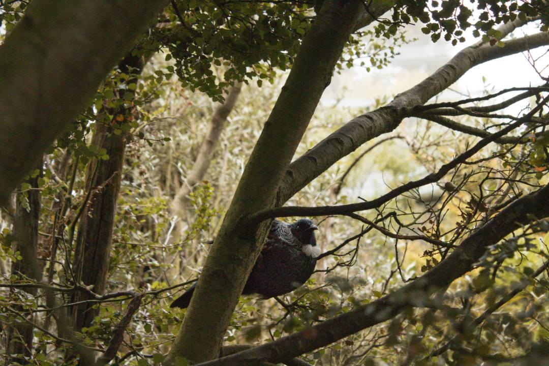 tui bird in tree in New Zealand