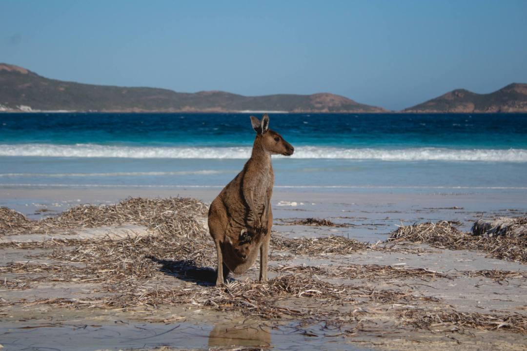 Kangaroo at Lucky Bay with joey