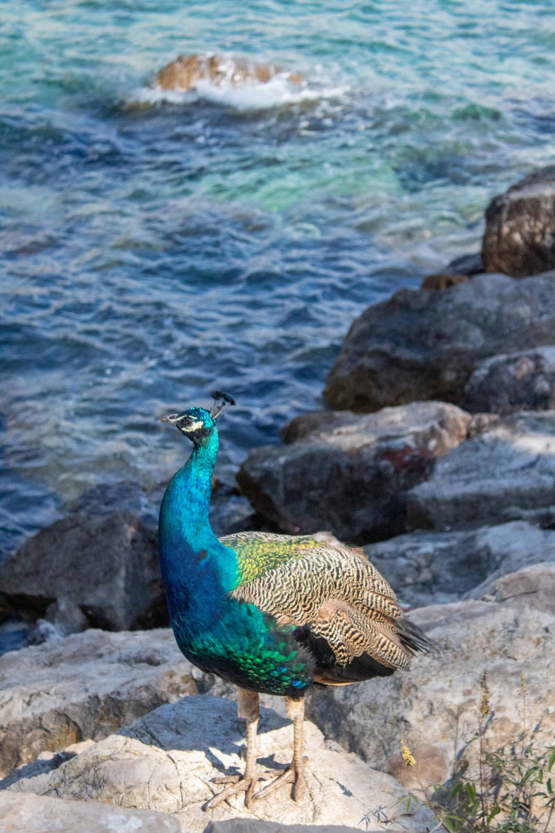 peacock in front of ocean rocks