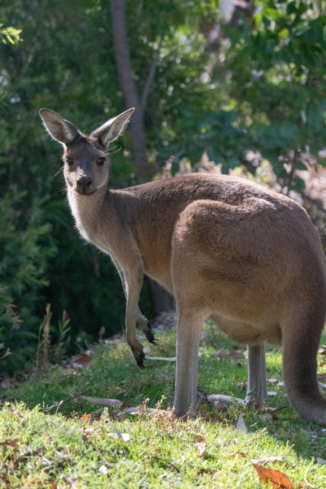 kangaroo crouches in park