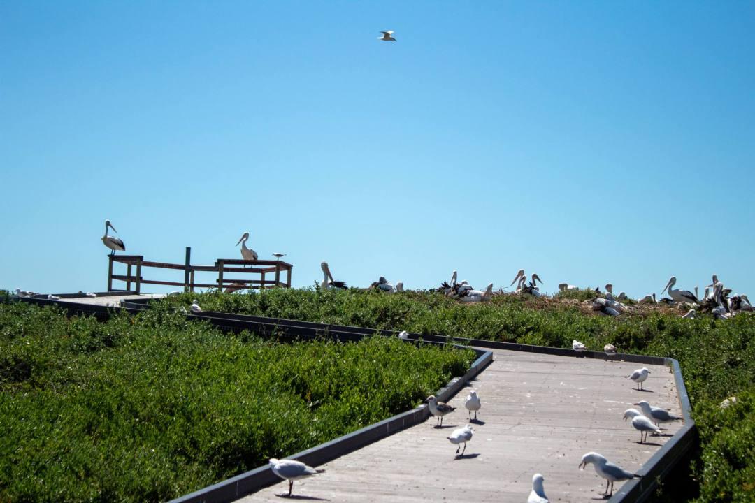 pelicans sit on boardwalk on penguin island