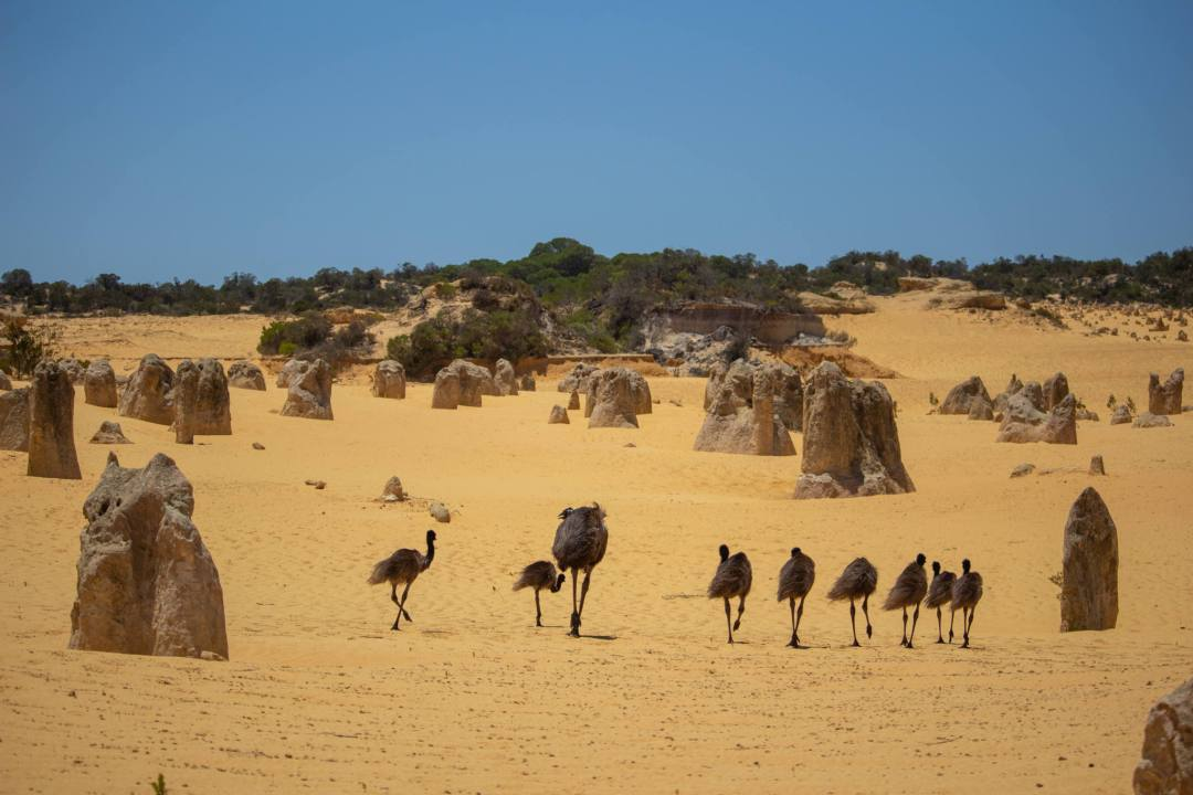 emus walking through the pinnacles desert