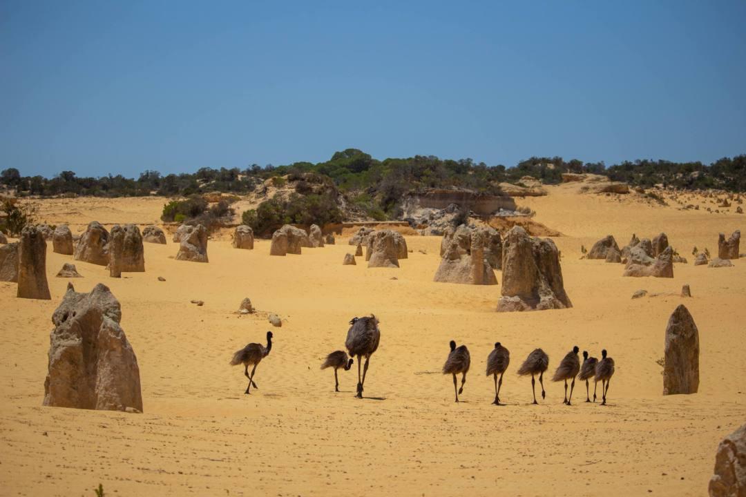 emus walking through the pinnacles desert