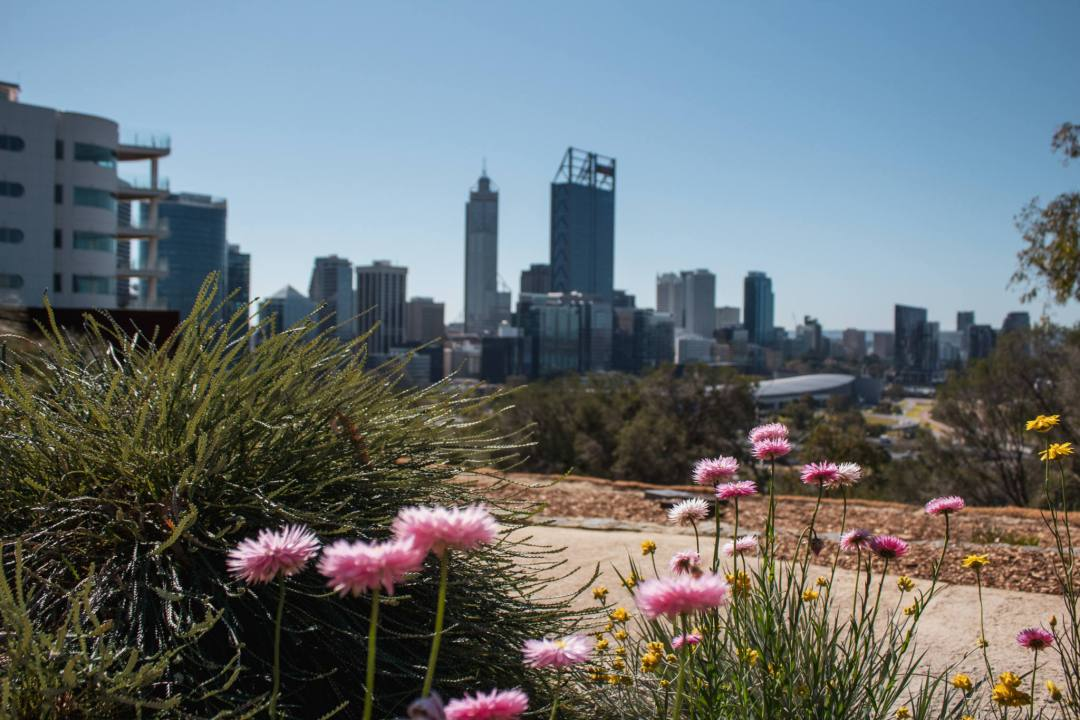 view of perth city from kings park with pink flowers in foreground