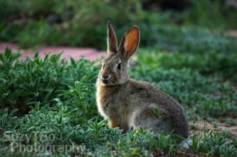 Wild Rabbit Colorado