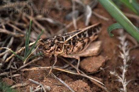 Grasshopper Close-up Colorado