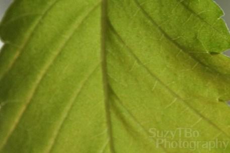 Elm Leaf Macro