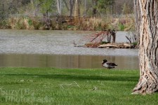 Baldridge_duck_scene