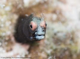 Tiny Roughhead Blenny, Cayman 2016