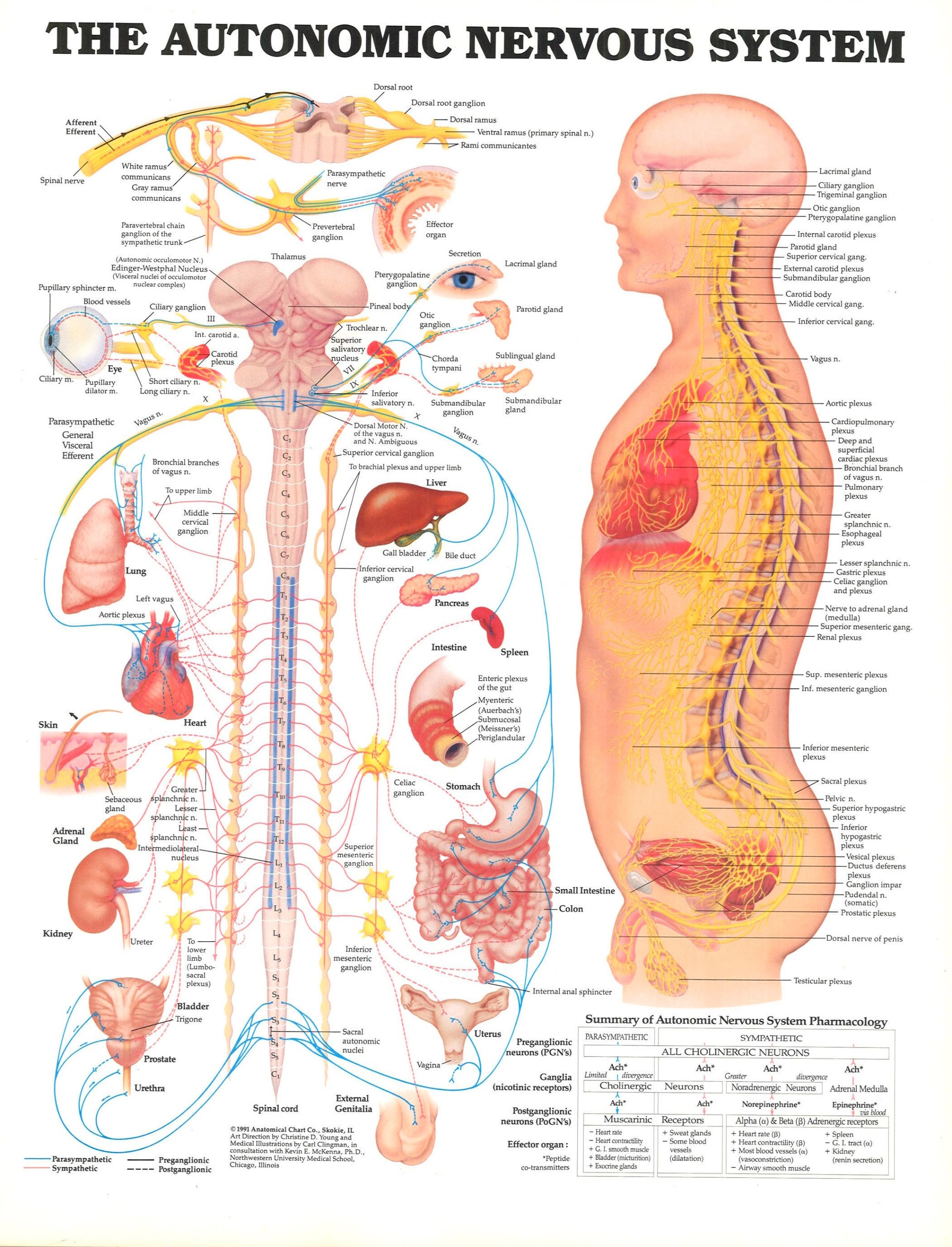 hight resolution of 1991 anatomical chart co skokie il art direction by christine d
