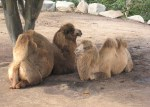 Dromadary Camels