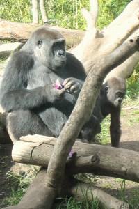 Gorilla Mom & Baby