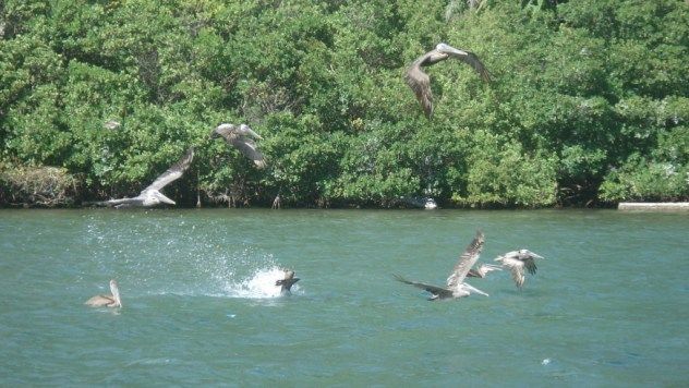 Pelicans flying and diving/feasting on schools of fish