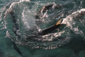 Feeding the tarpon at Saba Rock (courtesy of www.fraserrustics.com)