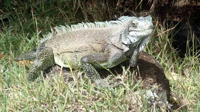 Iguana standing guard inside the fort - about 4 feet long