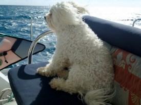 Charlie enjoying the brisk sail to Anegada