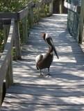 Brown Pelican on the boardwalk