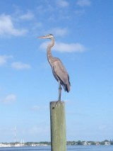 Great Blue Heron on piling