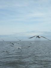 following gulls