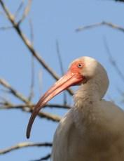 White Ibis, close up