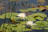 water lilies at Spanish Pond