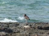 American Oystercatcher on rocks