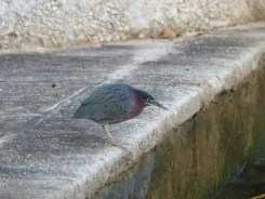Green Heron on the seawall