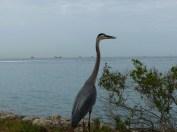 Great Blue Heron, Stiltsville in the distance