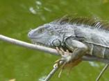 Spiny-tailed Iguana on branch