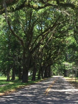live oaks along Pickney