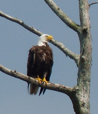 LS_20160612_153146 Bald Eagle, along the Virginia Cut