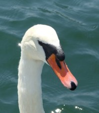 Mute Swan, adult, head shot