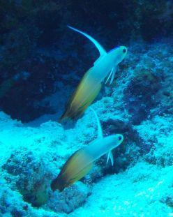 Fire Dartfish – Dive near our sailboat