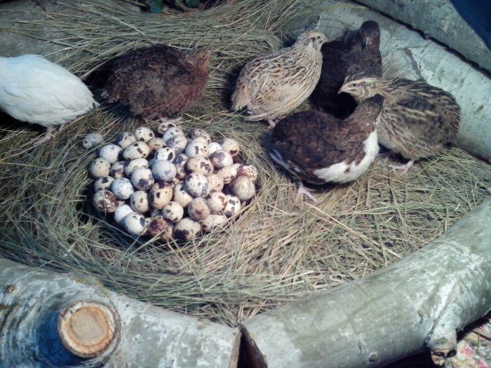 erezione delle uova di quaglia