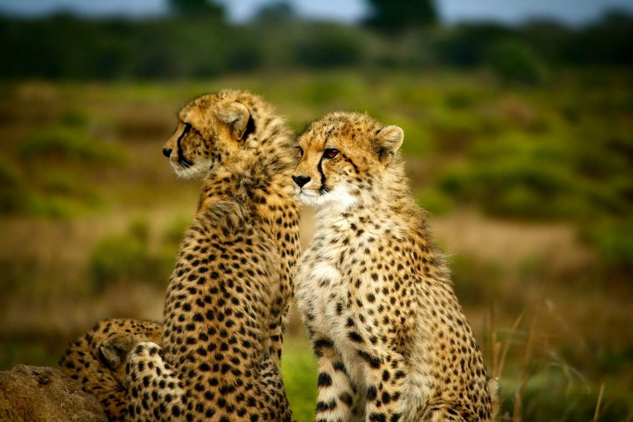 Geparder Afrikas Djurliv