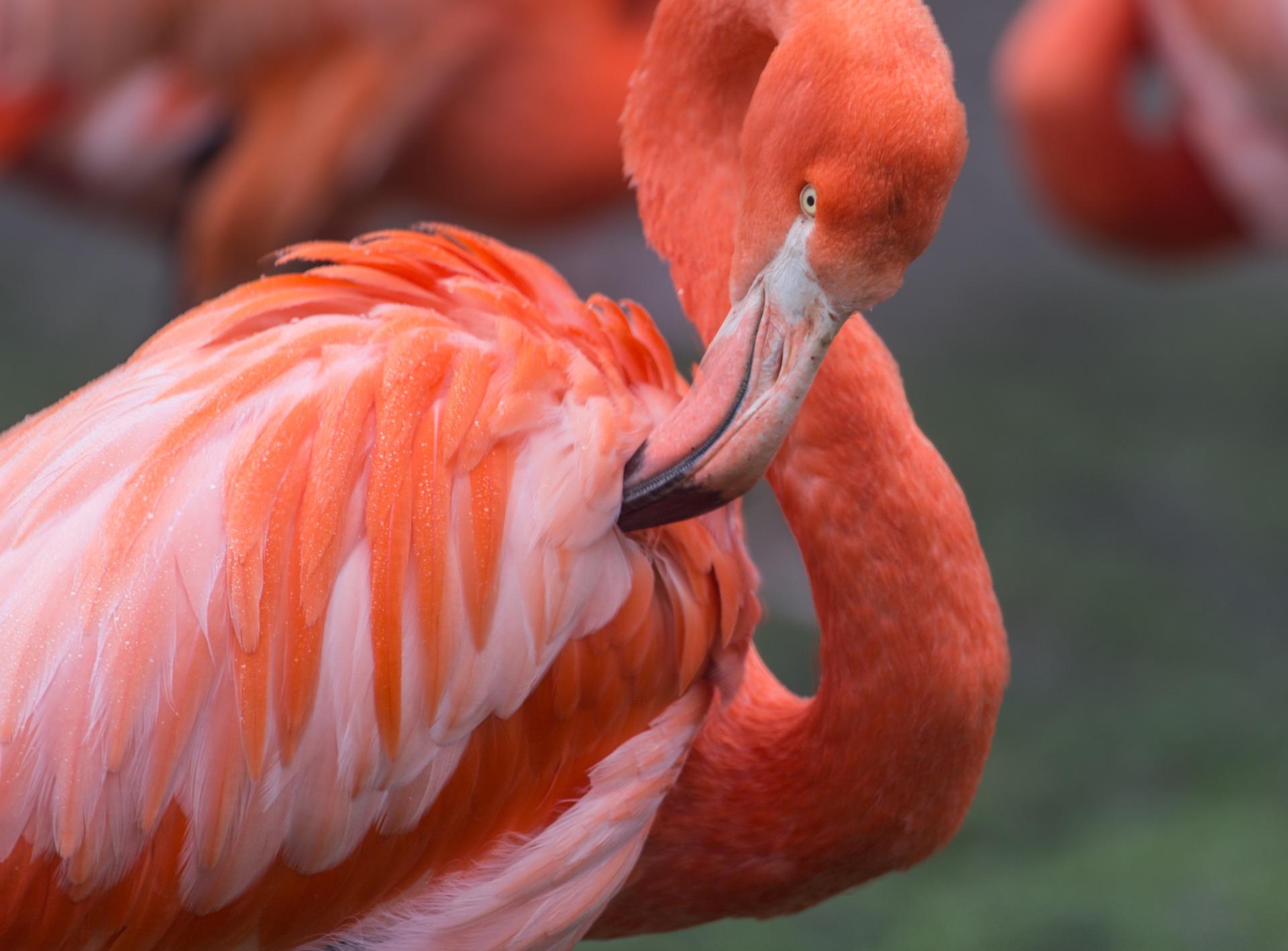 Flamingo Afrikas Djurliv