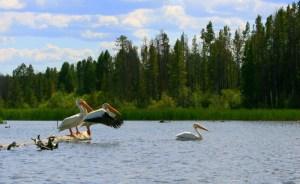 Pelicans on Shadow Mountain Lake
