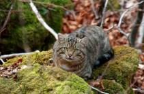 Kočka divoká evropská