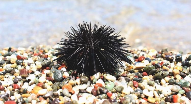 mořský ježek