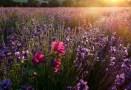 Levandule v Provence