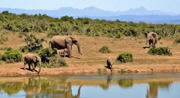 stádo slonů