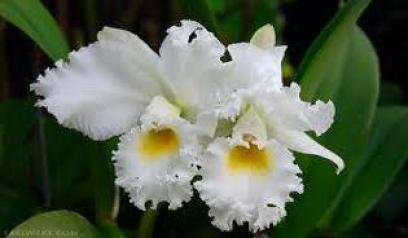 Цветочный гороскоп родившимся в январе орхидея