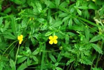 корень калгана - лечебные свойства и противопоказания